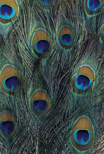Peacock feather design by Danita Delimont