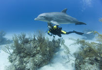Scuba diver swimming with captive Bottlenose Dolphin (Tursiops truncatus) at UNEXSO dive site by Danita Delimont