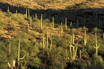 Saguaro Cactus (Carnegia gigantea) von Danita Delimont