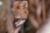 Swamp Fox von Danita Delimont