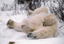 Polar Bear Rolling in the Snow by Danita Delimont