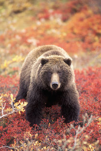 Female Grizzly Bear foraging red alpine blueberries in tundra von Danita Delimont