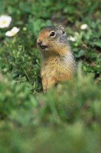 Columbian Ground Squirrel (Spermophilus columbianus) by Danita Delimont