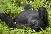 Adult Mountain Gorilla (Gorilla gorilla beringei) resting in tall grass at edge of rainforest von Danita Delimont
