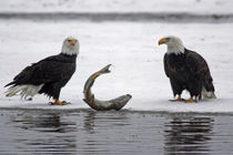 Pair of bald eagles waiting to feed on almost dead salmon von Danita Delimont
