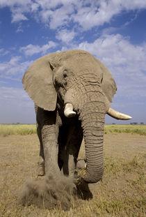 Male elephant ('Loxodonta africana') von Danita Delimont