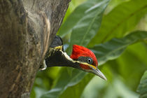 Male lineated woodpecker looking out from cavity nest by Danita Delimont