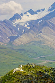 Dall sheep ram reclining against expansive vista by Danita Delimont