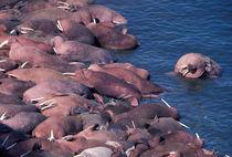 Walrus by Danita Delimont