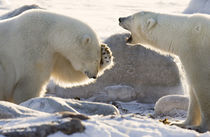 Two polar bears share a joke by Danita Delimont