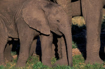 Elephants (Loxodanta africana) by Danita Delimont