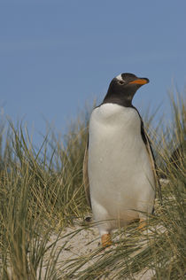 These penguins are residents and breed in the Falklands von Danita Delimont