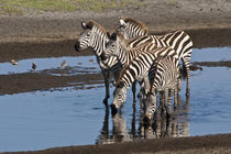 Zebras drinking at Ndutu in the Ngorongoro Conservation Area von Danita Delimont