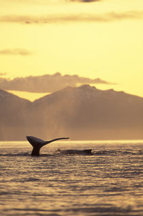 Inside Passage Humpback whale at sunset von Danita Delimont