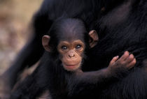 A 3-week-old chimpanzee (Pan troglodytes) by Danita Delimont