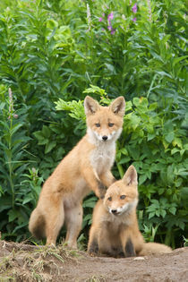 Red Fox by Danita Delimont