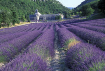 Lavander fields by Danita Delimont