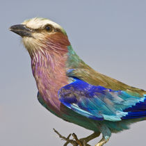 Lilac-Breasted Roller in Tarangire NP by Danita Delimont