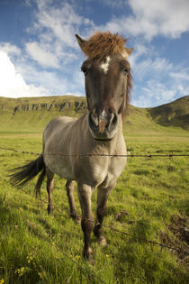 Frontal view of Icelandic horse next to barbed-wire fence von Danita Delimont