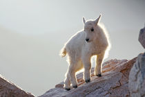 Close-up of young mountain goat kid backlit on rock von Danita Delimont