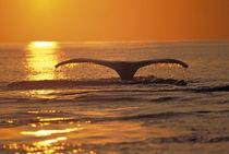 Humpback whale von Danita Delimont
