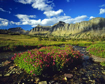 Monkeyflowers at Logan Pass in Glacier National Park in Montana by Danita Delimont