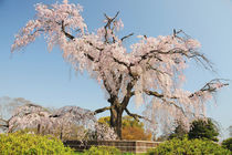 Weeping cherry tree under blue sky by Danita Delimont