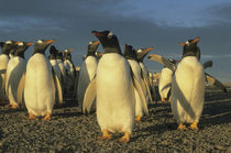 Colony of gentoo penguins in late afternoon light von Danita Delimont