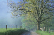 Foggy road with oak tree by Danita Delimont