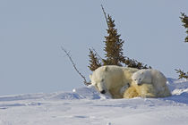 Polar bear cubs cuddling with sleeping mother von Danita Delimont