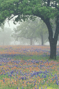 Foggy morning in the Texas Hill Country von Danita Delimont
