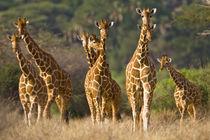 Herd of Reticulated Giraffes at Samburu NP by Danita Delimont