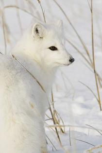 Arctic Fox by Danita Delimont