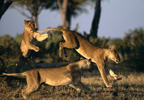 Lionesses (Panthera leo) playing near Rhino Pan in Savuti Marsh at dawn von Danita Delimont