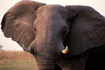 Elephant (Loxodanta africana) von Danita Delimont