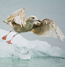 Close-up of immature gull taking off from ice floe von Danita Delimont