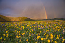 Spectacular wildflower meadow at sunrise in the Bighorn Mountains of Wyoming von Danita Delimont