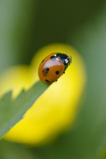 Ladybug on tip of leaf by Danita Delimont