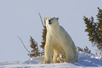 Polar bear cub being protected by mother von Danita Delimont