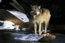 Wolf (Canis lupus) von Danita Delimont