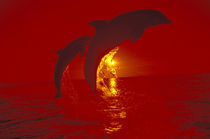 Bottlenose dolphins (Tursiops truncatus); shot with red filter von Danita Delimont