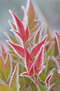 Close-up of frost on fall foliage von Danita Delimont
