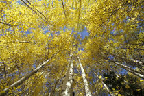 Stevens Pass Fall-colored aspen trees (Populus tremuloides) von Danita Delimont