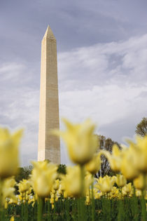 The Washington Monument as seen through yellow tulips von Danita Delimont