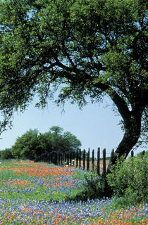 Texas Hill Country Paintbrush and bluebonnets by Danita Delimont
