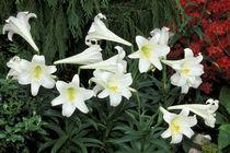 Easter Lily (Lilium regale) by Danita Delimont