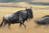Blurred image of Wildebeest (Connochaetes taurinus) crossing savanna in migration von Danita Delimont