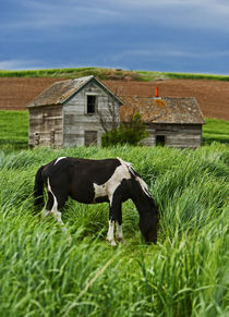 Viewing horses in a field in the Palouse southwest of Colfax in Washington State von Danita Delimont