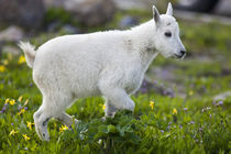 Mountain goat kid at Logan Pass in Glacier National Park in Montana von Danita Delimont