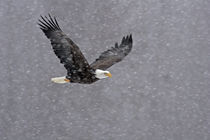 Bald eagle flying through snowstorm by Danita Delimont